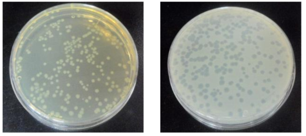 배양된 E. coli의 colony(a)와 MS2의 plaque(b)