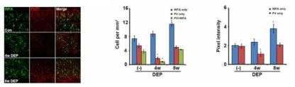 상부 호흡기 DEP 노출에 따른 대뇌피질의 신경주위망 (WFA)과 중간신경 (PV)의 변화