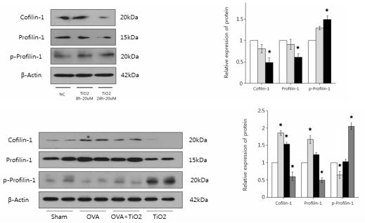 인간기관지세포와 동물에서의 Cofilin-1, Profilin-1,p-profilin-1 단백 수준분석