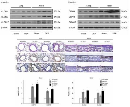 디젤분진 노출 마우스에서 코조직과 폐조직의 세포 밀착연접 유전자 변화