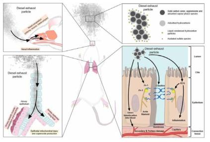 디젤분신 흡입 경로 및 코조직, 폐조직에서의 염증 유발 작용기작