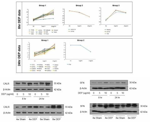기관지상피세포에서의 디젤분진 노출 후 변화되는 Spot의 분석을 통해 여러 단백질이 증가되거나 감소