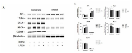 ALI 12일에서 Western blot 기법을 통해 관찰한 ZO1, TLR4, OCLN, MLCK, CLDN4 의 발현 변화