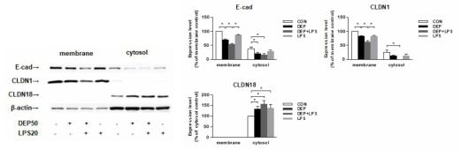 ALI 12일에서 Western blot 기법을 통해 관찰한 E-cad, CLDN1, CLDN18 의 발현 변화