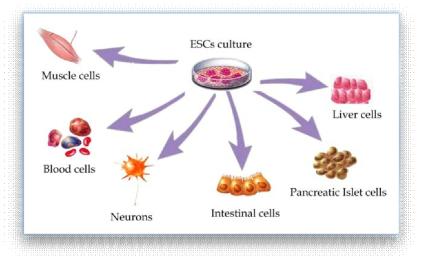 줄기세포의 다양한 분화 가능성