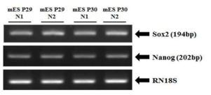 RT-PCR 방법을 이용한 미분화마커들의 발현 확인