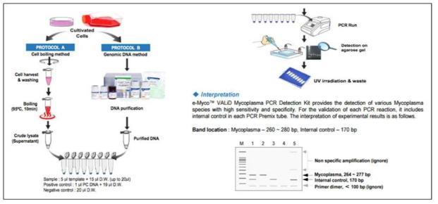 PCR 방법을 이용한 Mycoplasma 검출