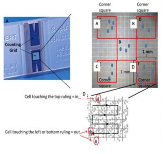 cell number counting using hemocytometer