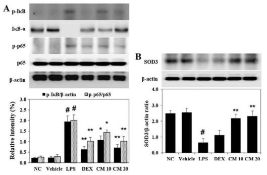 Effect of CM on the activation of NF-κB and expression of SOD3 in the lung of ALI mice. The phosphorylation of (A) IкB and NF-кB p65 and expression of (B) SOD3 were detected using Western blot analysis. Data are expressed as means ± S.D. #p < 0.01 indicates statistically significantly different from vehicle group. *p < 0.05 and **p < 0.01 indicate a statistically significant difference compared with the LPS group