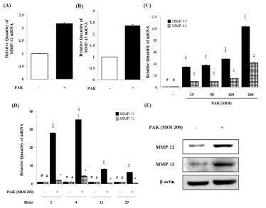 녹농균 감염된 H292 세포에서 MMP-12와 MMP-13의 증가