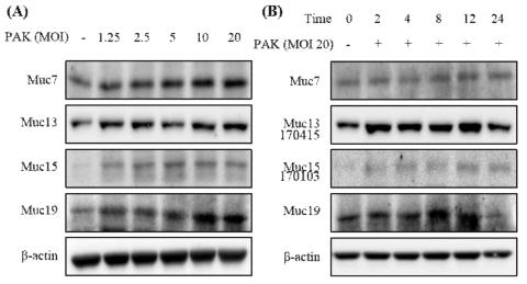녹농균에 감염된 A549 세포에서 Muc7, 13, 15, 19의 시간 의존적 증가 결과