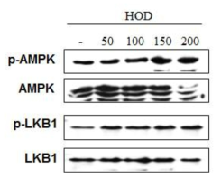 HOD에 의한 LKB1/AMPK 활성화 확인