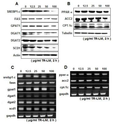 TR 추출물 처리 시 중성지방 생합성과정의 주요 전사인자인 SREBP-1과 그 하위 유전자들의 발현변화 양상