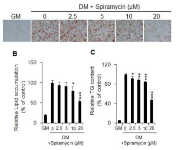 Inhibitory effect of spiramycin on lipid accumulation in 3T3-L1 adipocytes. (A) The effect of spiramycin on lipid droplet formation was measured by Oil Red O staining. 3T3-L1 preadipocytes were differentiated into adipocytes in the presence of various concentrations of spiramycin (2.5-20 μM) for 6 days. Representative cell images were captured at 200× magnification. GM, growth media. DM, differentiation media. (B) Quantification of intracellular lipid accumulation. Oil Red O stained lipids were extracted in absolute isopropanol, after which the absorbance of the solution was measured at 510 nm. (C) Quantification of triglyceride content. The bar graphs show the mean ± S.D. of 3 independent experiments(*p< 0.05, **p< 0.01, and ***p< 0.001 compared with the non-spiramycin-treated DM control)