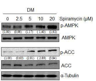 Effect of spiramycin on phosphorylation of AMPK and ACC during 3T3-L1 adipocyte differentiation. 3T3-L1 preadipocytes were differentiated into adipocytes with specified concentrations of spiramycin. After 1 h, protein levels of phosphorylated AMPK and ACC(p-AMPK and p-ACC) were analyzed by western blotting. The numbers at the bottom of the figure indicate the relative band intensity normalized to that of the non-phosphorylated protein (fold-change in comparison with that of the control group)