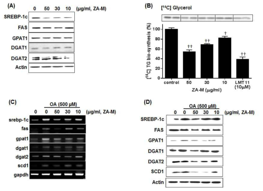 Effect of ZA-M on transcriptional/ translational expression of lipogenic genes and sequential TG biosynthesis in HepG2 cells. (A) Western blot analysis of lipogenic protein expression level was performed in HepG2 cells after treatment of indicated concentrations of ZA-M (0, 50, 30 and 10 ug/ml). (B) De novo TG biosynthesis. HepG2 cells were co-treated with various concentrations of ZA-M and [14C] glycerol for 6 h, and then TLC-based analysis of lipid intermediates was performed. Each [14C] TG bands was quantified by using a software, the Multi-Gauge V3.0 (Fujifilm). The relative activity was calculated by setting the value from DMSO-treated cells to 100%. The bar graphs show the mean ± S.D. of 3 independent experiments (*p< 0.05, **p< 0.01, and ***p< 0.001 compared with the DMSO control). (C and D) Effect of ZA-M on OA-induced upregulation of transcriptional/ translational expression of lipogenic genes was analyzed RT-PCR and western blot, respectively