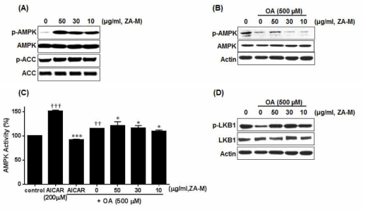 ZA-M activates the LKB1/AMPK signaling pathway. (A) ZA-M stimulates the phosphorylation at Thr 172 of AMPKα and Ser 79 of its down-stream target ACC in HepG2 cells. (B) ZA-M reactivates the AMPK against OA-induced its dephosphorylation. (C) AMPK kinase activity. The bar graphs show the mean ± S.D. of 3 independent experiments (*p< 0.05, **p< 0.01, and ***p< 0.001 compared with the DMSO control; *p< 0.05, **p< 0.01, and ***p< 0.001 compared with the OA treated control). (D) ZA-M stimulates the phosphorylation at Ser 428 of LKB1