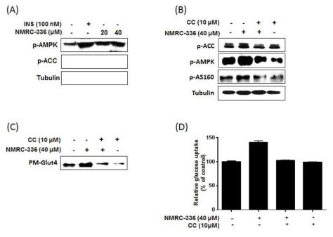 NMRC-336의 AMPK 경로에 의한 포도당 흡수능 증가 기전