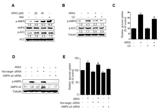 ARK5가 AMPK 경로 활성화와 포도당 흡수에 미치는 영향. (A) Differentiated L6 cells were treated with ARK5 (20 and 40 μM) and metformin (Met, 100 μM) for 15 min. The cell lysates were analyzed by western blot. L6 myotubes were pre-treated with 10 μM compound C (CC, a selective AMPK inhibitor) for 30 min and then incubated with 40 μM ARK5 for 15 min before western blot (B) and [14C]-2-DG uptake assay (C). L6 myoblasts were transfected with siRNA against the gene encoding AMPKα2 and then stimulated with acacetin for 15 min before western blot (D) and [14C]-2-DG uptake assay (E). Data are shown as the mean ± S.D. (n=3). **p<0.01 compared to control; #p<0.05 compared to ARK5 alone