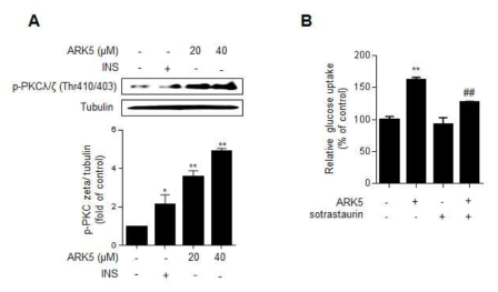 ARK5가 aPKCλ/ζ의 인산화와 포도당 흡수능에 미치는 영향. Differentiated L6 cells were treated with ARK5 (20 and 40 μM) or INS (100 nM) for 15 min. (A) The cell lysates were detected by western blot. The density of the Western bands of p-aPKCλ/ζ was quantified using Image J analysis software and the relative quantification values are shown in the bar graph below. (B) L6 myotubes were stimulated with 40 μM ARK5 in the presence or absence of 0.64 nM sotrastaurin, a pan-PKC inhibitor, before [14C]-2-DG uptake assay. Data are shown as the mean ± S.D. (n=3). **p <0.01 compared to control; ##p<0.01 compared to ARK5 alone group