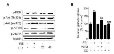 PT1 처리에 의해 활성화되는 신호전달 경로의 확인. (A) 웨스턴을 통한 인슐린 의존적인 신호전달 경로의 인산화 확인. (B) wortmannin 전처리를 통한 포도당 흡수능 억제능 확인