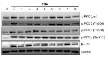 YPL-001(1)과 이로부터 분리된 단일 화합물 (2-8)에 의해 PMA에 활성화된 novel PKC (δ, θ and μ) 의 저해효과