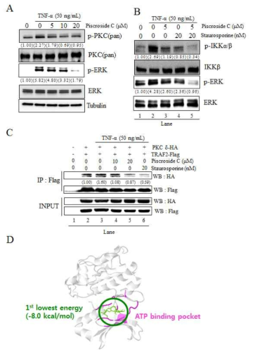 Piscroside C inhibits kinase activity of PKC for IKKα/β activation and interaction between PKCδ and TRAF2. (A) NCI-H292 cells were pretreated at each indicated concentration of piscroside C for 2 h, and then treated with TNF-α(50 ng/mL) for 30 min. Whole cell lysates were assessed by western blotting using antibodies against p-PKC (pan, detecting autophosphorylation at a catalytic domain of PKC), PKC, p-ERK, ERK and Tubulin. Tubulin was the protein loading control. The numbers below the bands indicate the relative band intensity (-fold of control). (B) NCI-H292 cells were pre-treated with the indicated concentration of piscroside C and staurosporine (a PKC inhibitor) for 2 h before treatment of TNF-α(50 ng/mL) for 30 min. Antibodies against p-IKKα/β, IKKβ, p-ERK, and ERK were used for western blotting. The numbers below the bands define the relative band intensity (-fold of control). (C) HEK293T cells were transiently transfected with expression vectors for PKCδ -HA and TRAF2-Flag. Twelve hours after transfection, the cells were pre-treated for 2 h with piscroside C or staurosporine, then subsequently treated with TNF-α(50 ng/mL) for 30 min, then lysed for IP assay using anti-FLAG antibody. Anti-Flag and anti-HA antibodies were used for immunoblotting. The relative band intensities of HA-tagged PKCδ proteins were quantified using Fujisoftware. (D) Predicted piscroside C binding to an ATP binding site of PKCδ using molecular docking simulation. The developed homology model structure was drawn as a white cartoon image. The ATP binding pocket of PKCδis shaded a pink color. Piscroside C (colored green) is drawn as a stick model