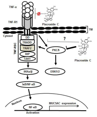 Schematic depicting the molecular mechanism of piscroside C suppressing TNF-α -induced MUC5AC expression in NCI-H292 cells. Piscroside C has an inhibitory effect on TNF-α/TNF-RSC/IKK/NF-κB pathway by inhibiting PKC activity. Our data suggested that piscroside C has no inhibitory effect on the extracellular interaction between TNF-α ligand and its receptor, TNF-R1 (Ø). TRAF2 activation by PKC is essential for TNF-RSC/IKK/NF-κB activation. We propose that piscroside C inhibits PKC activity, including PKCδ, and its subsequent recruitment to TRAF2, thereby inhibiting IKK/NF-κB activation in airway epithelial cells. We cannot rule out the possibility that piscroside C negatively regulates interactions between TNFR1 and PKC (grey line)
