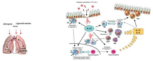 COPD에서 IL-33 및 Serum amyloid A (SAA)의 역할
