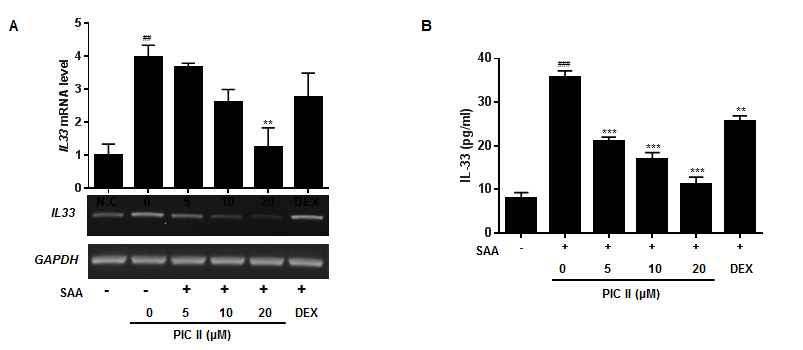 COPD 천연물신약 치료제의 picroside II의 SAA1 의한 IL-33 생성 억제효과. (A) Effect of PIC II on the SAA-induced IL33 mRNA expression was measured by qRT-PCR. NCI-H292 cells were pretreated with indicated concentrations of PIC II or DEX (1μM) for 1h and subsequently treated with SAA (0.5 ㎍/㎖) for 6h. (B) Effect of PIC II on the SAA-induced IL-33 secretion was assayed using ELISA. NCI-H292 cells were pretreated with PIC II or DEX (1 μM) for 1h and subsequently treated with SAA (0.2 ㎍/㎖) for 6h