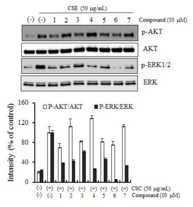 담배연기농축액 (CSC; cigarette smoke condensate)에 의해 유도된 AKT와 ERK의 활성 억제