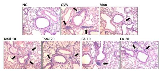 백서향 추출물과 분획물은 ovalbumin으로 유발된 천식마우스 폐조직내 염증세포의 침윤억제 효과