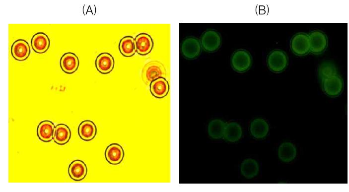 형광(FITC)물질이 탑재된 항체를 사용하여 자성입자에 항체가 정상적으로 결합되었는지를 형광현미경으로 확인 (A)형광 항체가 탑재되지 않은 자성입자,(B)형광 항체가 탑재된 자성입자