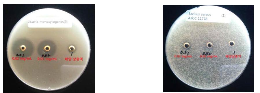 B. tequilensis HD15 유래 박테리오신 분리 농축 및 항균특성 평가. L. monocytogenes에 대한 항균특성(좌), B. cereus에 대한 항균특성(우)
