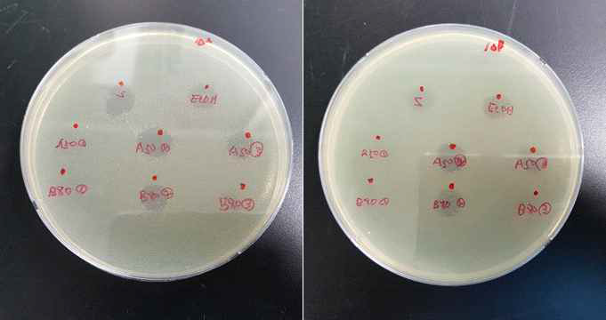 단백질 처리방법에 따른 단백질 정제물 항균력 비교 (왼) 리스테리아 접종농도 5log cfu/mL, (오) 리스테리아 접종농도 6log cfu/mL