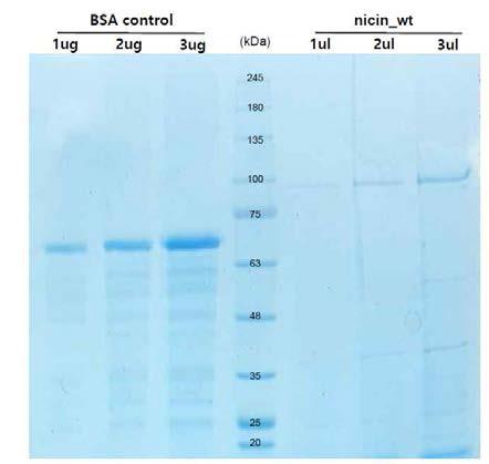 선발균주 유래 단백질 정제 SDS-PAGE 결과