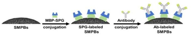전분자성입자 표면 융합단백질 기반 항체 수식 모식도