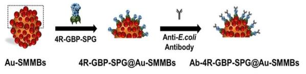 금코팅 자성입자 표면 융합단백질 기반 항체 수식 모식도
