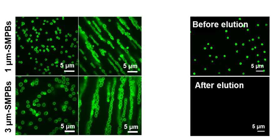 항체 수식된 전분자성입자 및 외부자력 의존적 align 현상확인(좌), 말토스 경쟁 결합에 따른 융합단백질(MBP-SPG) 용리현상 확인(우)