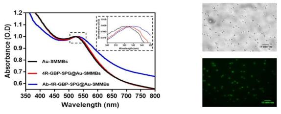 금코팅 자성입자 표면에 리간드 및 항체 수식 후 흡광도 결과(좌측), 광학현미경 및 형광현미경 기반 표면수식 및 입자의 분산안정성 확인 결과(우측)