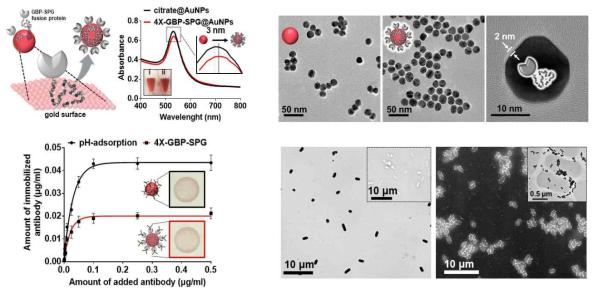 융합단백질 4X-GBP-SPG와 금나노입자 수식모식도, 흡광도 및 수식 효율 결과(좌) 금나노입자와 융합단백질이 코팅된 금나노입자의 투과전자현미경 이미지 및 융합단백질 기반 면역 금나노입자와 목표균 복합체의 전자현미경 이미지(우)
