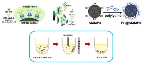 말토스 친화도의 차이를 이용한 목표균 용리 모식도(상), 전분자성입자 표면 폴리라이신 코팅 모식도(중), 식품 시료 내 목표균 분리·농축 모식도(하)