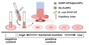 Capillary tube를 이용한 Radial chromatography 대장균군 검출법 모식도
