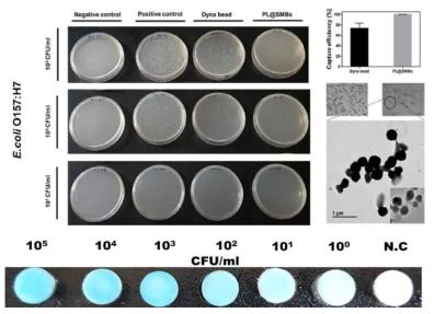 실제 식품 햄에서 페이퍼 디스크상 효소기반 대장균군 비색검출 결과