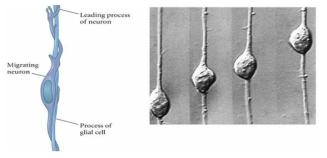 Radial glial cell을 타고 이동하는 신경세포
