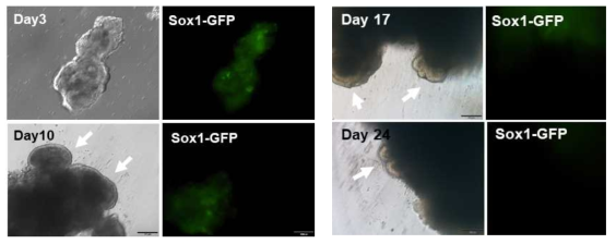 Sox1-GFP를 발현하는 부분만 물리적으로 떼어낸 후 Neural induction medium (NIM)에서 5일간 배양한 후 마트리젤에 삽입함. 10일째, 17일째, 24일째 Neuroepithelium 층이 관찰됨 (화살표)
