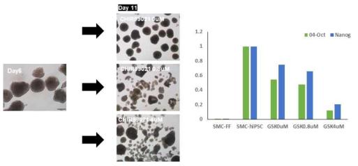 hES 배지에서 6일 EB를 형성한 후, N2B27 배지에서 CHIR99021을 각각 0uM, 0.8uM, 4uM로 처리한지 5일째 되는 EB(좌), Real-time RT-PCR을 통해 만능성 마커 Oct4, Nanog를 확인 (우)