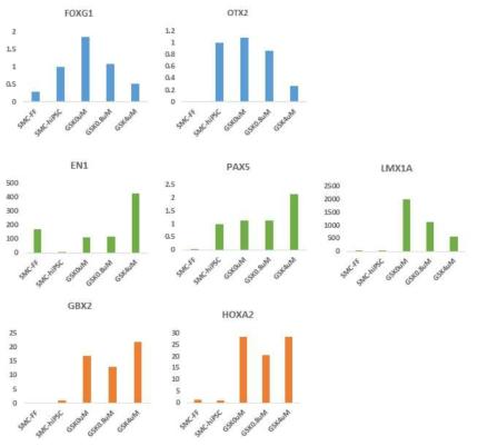 CHIR99021을 각각 0uM, 0.8uM, 4uM 처리한 EB에서의 전뇌 (FOXG1, OTX2), 중뇌 (EN1, PAX5, LMX1A), 후뇌 (GBX2, HOXA2) 발현