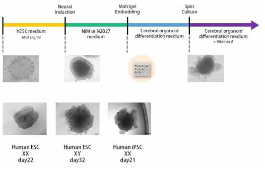 뇌 오가노이드 형성 Timeline과 인간 배아 줄기세포, 인간 유도 만능 줄기세포로부터 형성된 뇌 오가노이드
