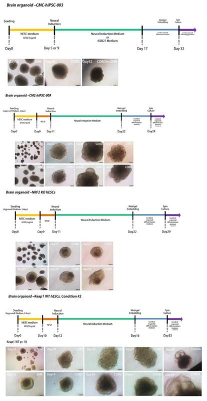 인간 유도 만능 줄기 세포 및 넉아웃 인간 배아 줄기 세포로부터의 뇌 오가노이드